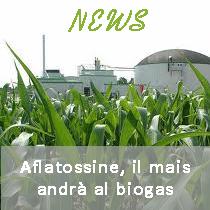 Aflatossine, il mais andrà al biogas